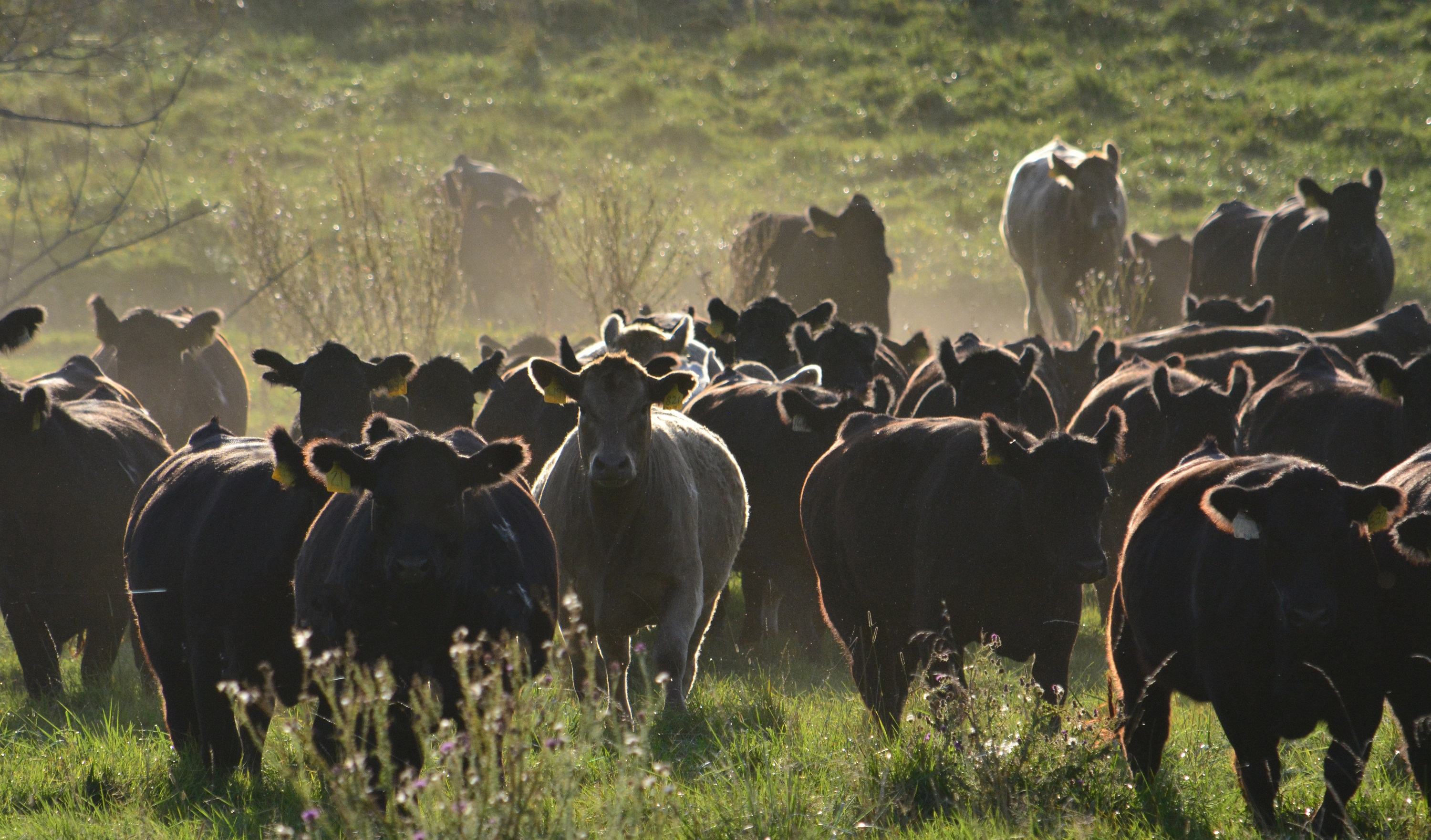 Pasture Cows-Raising beef hero