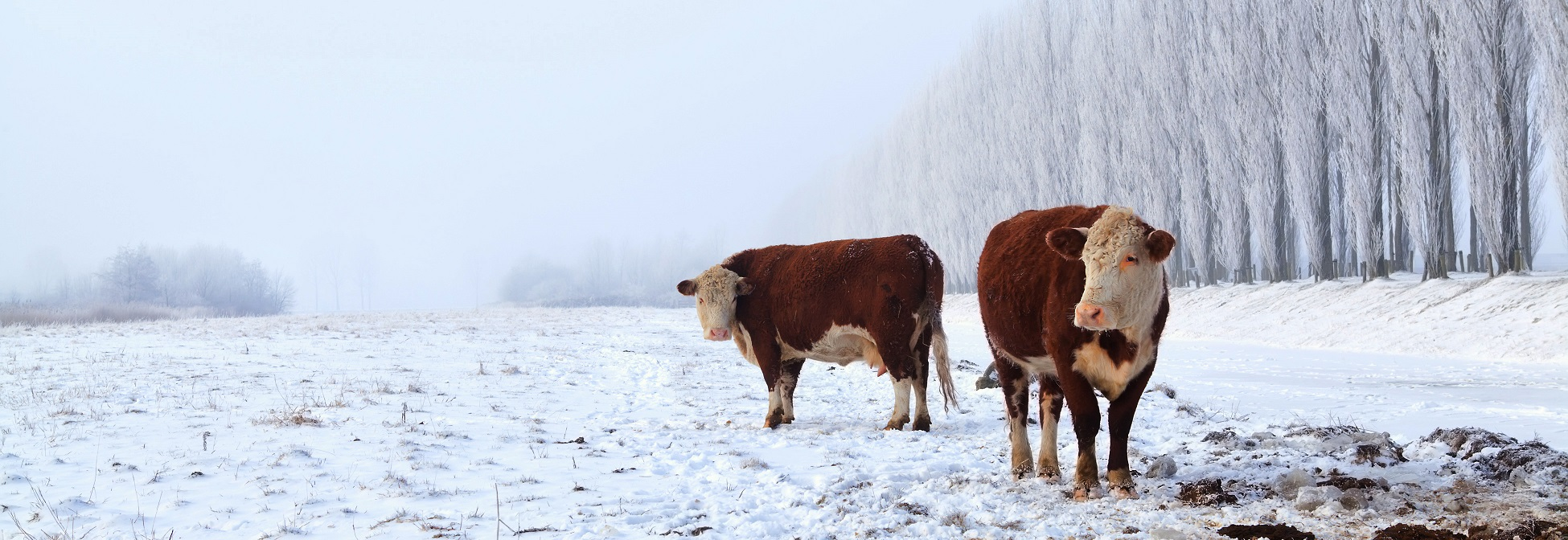 TwoHerefordCowsinSnow-Raising Beef Hero